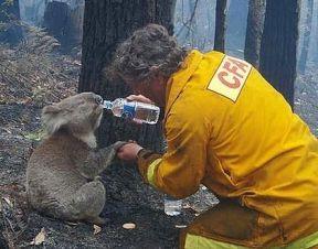 man-save-koala