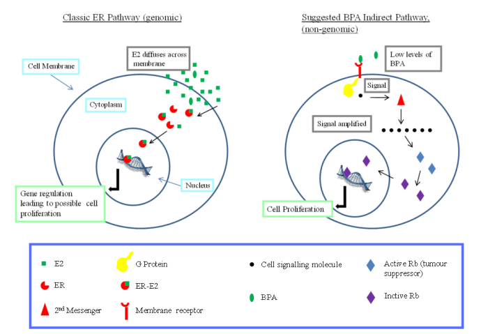 bpa-indirect-pathway-diagram1