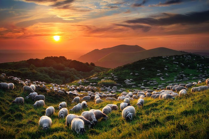 sheep08